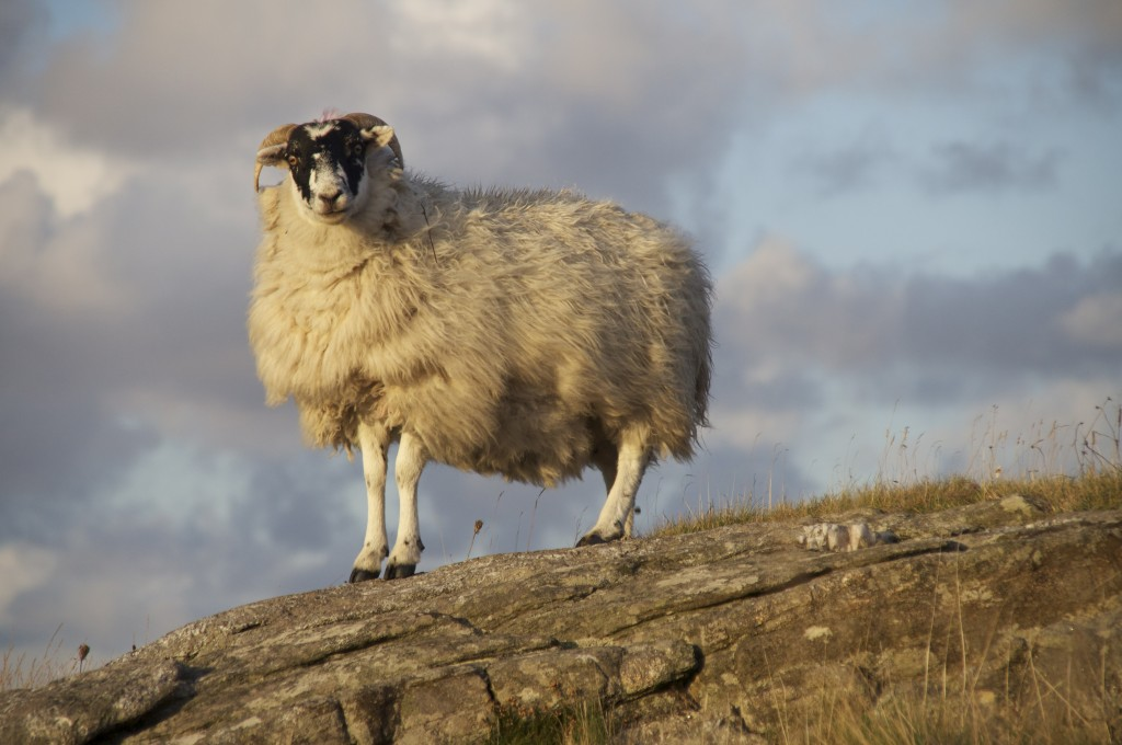 A fine, free sheep on the Isle of Harris, Scotland